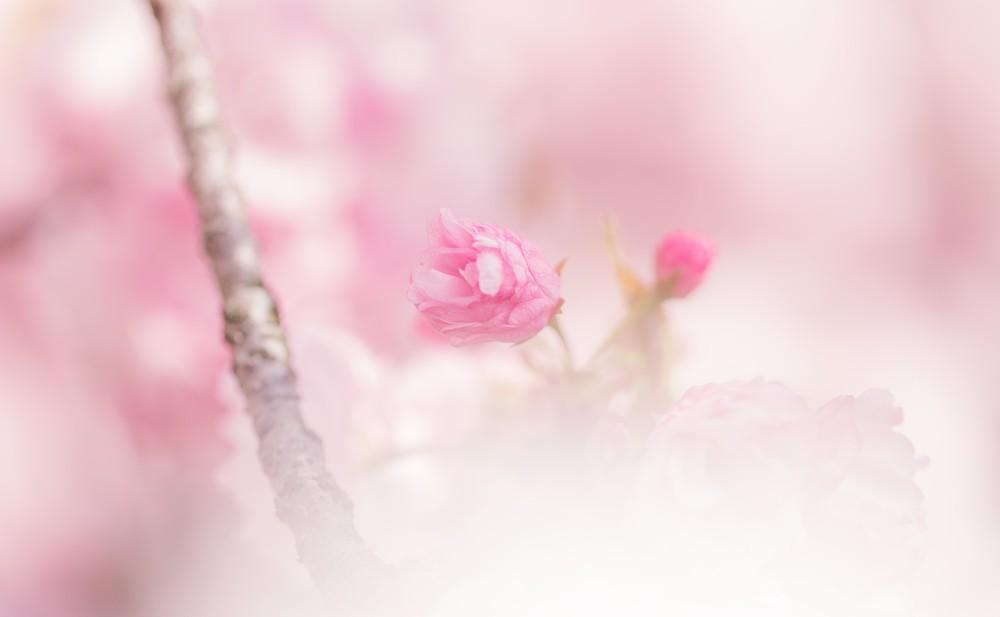 桜の花の蕾