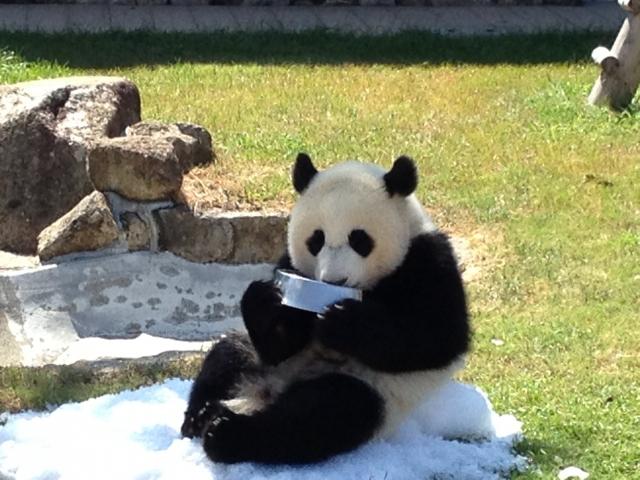 アドベンチャーワールド ミルクを飲むパンダ