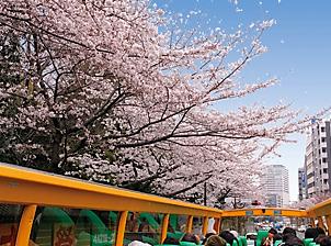 桜並木をはとバスで走る
