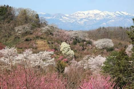 山桜の満開写真